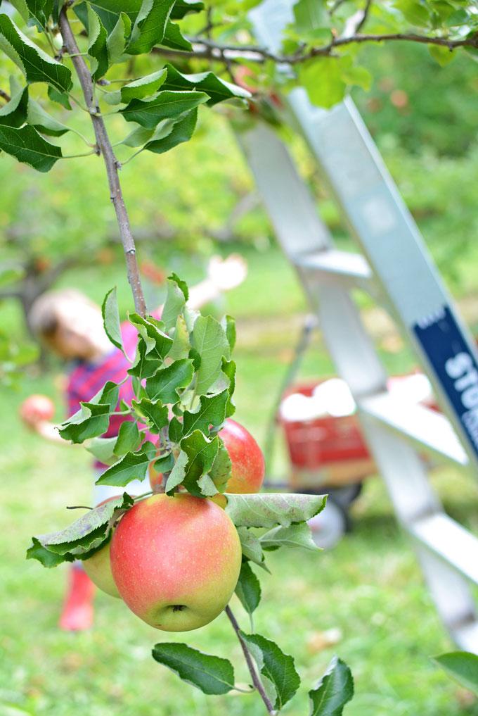 Apple orchard fun