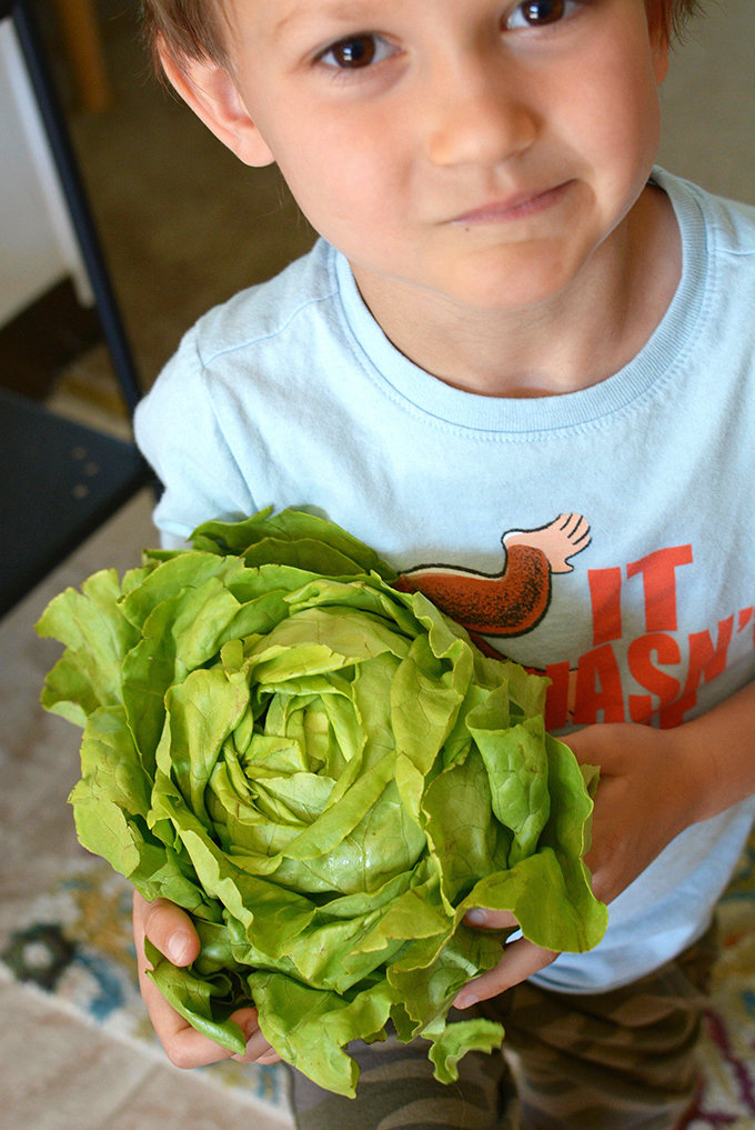 Leafy Head of Lettuce From Crop Share