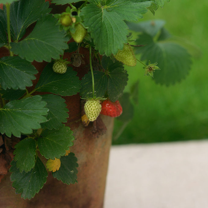 How To Grow Strawberries in a Planter Pot