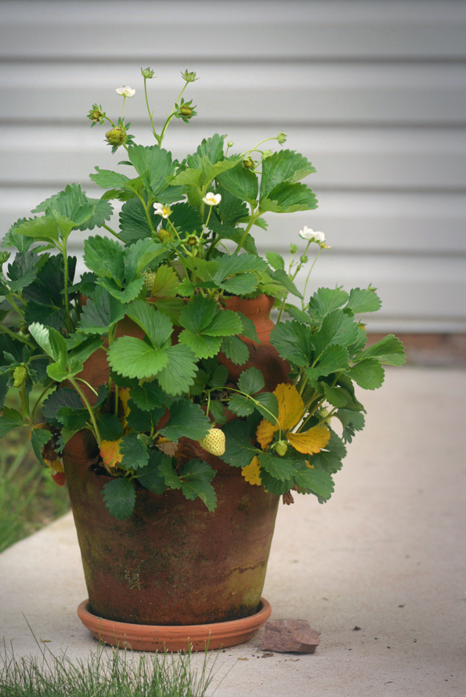 Strawberry Planter